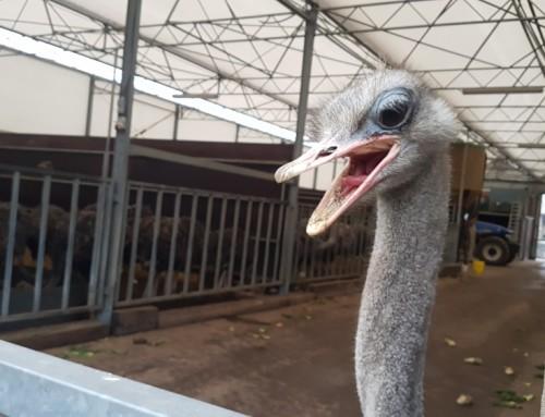 't Struisvogelnest